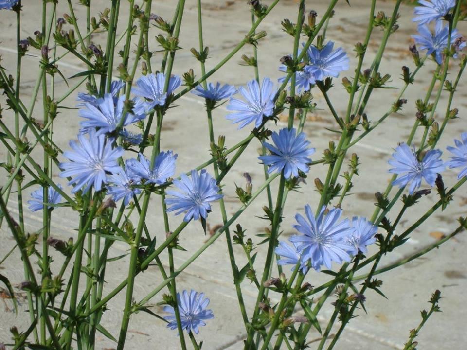 синя жлъчка цикория